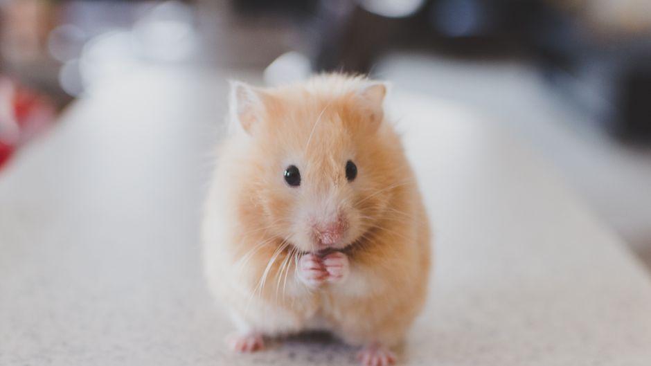 Die Studentin soll ihren Hamster im Flughafenklo runtergespült haben. (Symbolfoto)