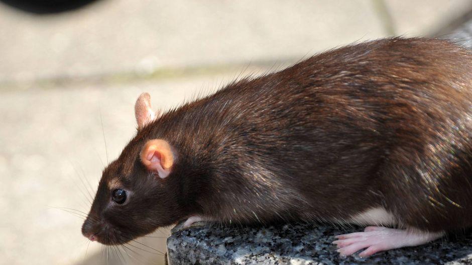 Eine Ratte.