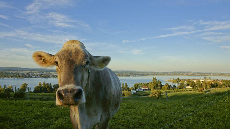 Eine Kuh steht auf einer Weide in Ermatingen in der Schweiz.