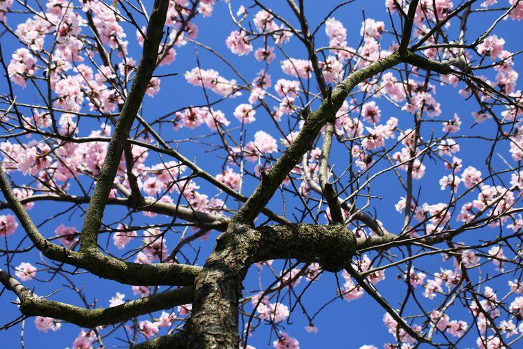Mit der Mandelblüte wird die Weinfestsaison in der Pfalz eingeläutet.