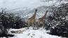 Giraffen im südafrikanischen Schnee.