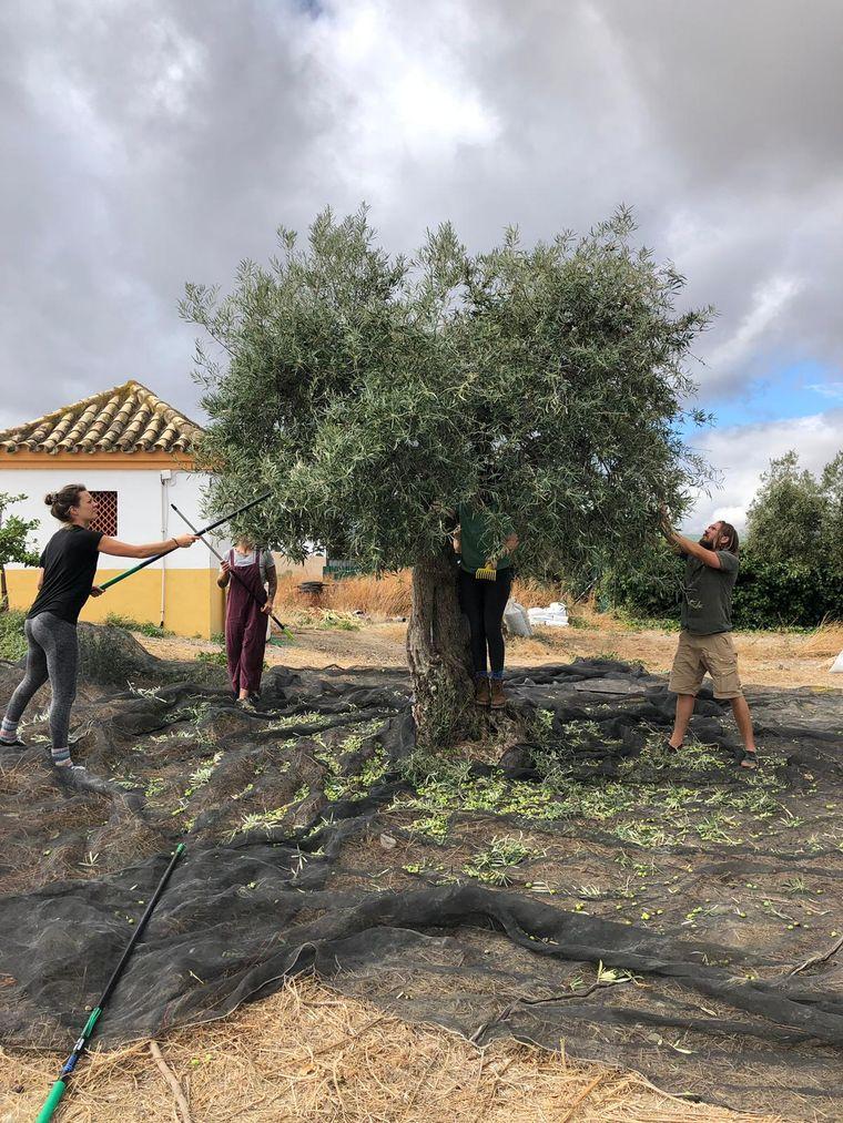 Auch die Oliven können geerntet werden.