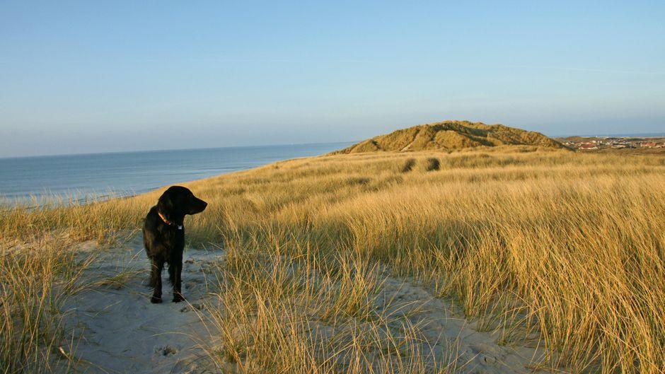 Sandige Hügel, an die sich Grasbüschel klammern: Ein breiter Dünengürtel trennt das Ferienhausgebiet von Hvide Sande von Strand und Nordsee – ein Paradies für Flat Coated Retriever Gizmo.