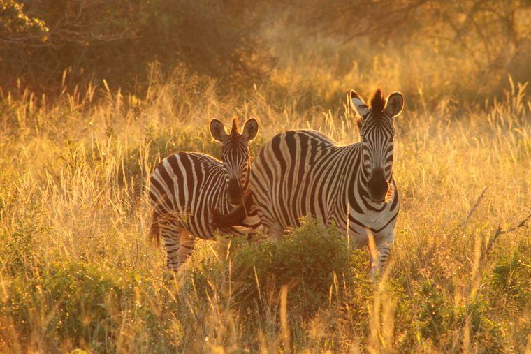 Eine Zebra-Mutter und ihr Nachwuchs genießen die ersten Sonnenstrahlen des Tages.