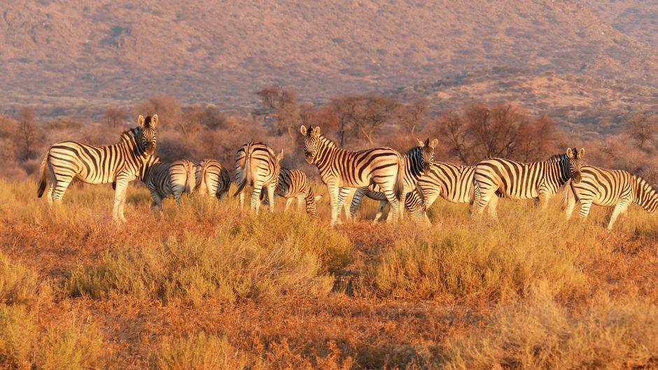 Fotomodelle der Savanne: Zebras haben sich inzwischen an die Anwesenheit von Safari-Teilnehmern gewöhnt.