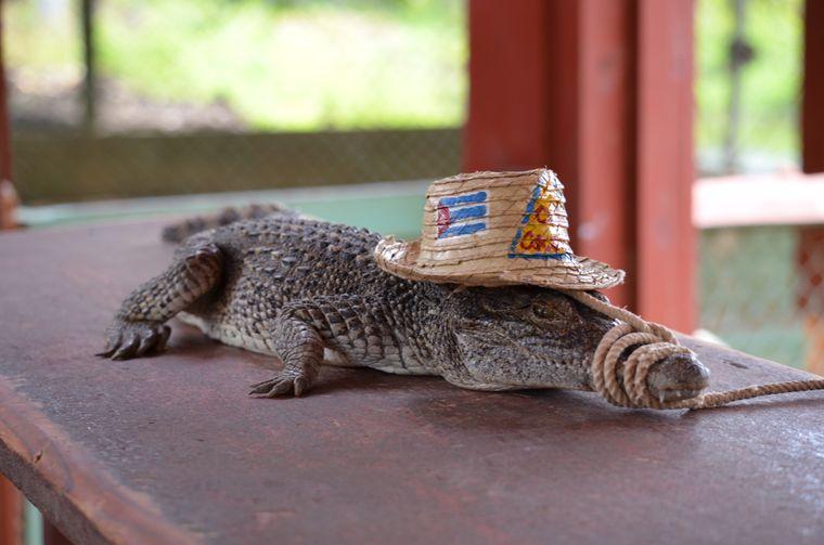 Krokodil mit Strohhut auf Kuba