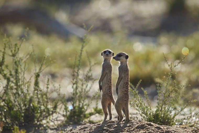 Zwei Erdmännchen im Kgalagadi Transfrontier Park in Südafrika.