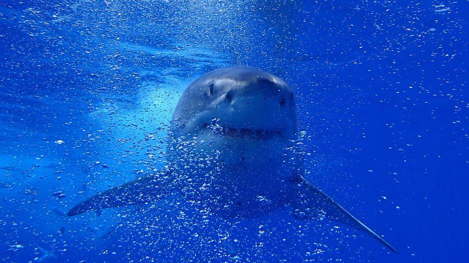 Ein Weißer Hai im Atlantik.