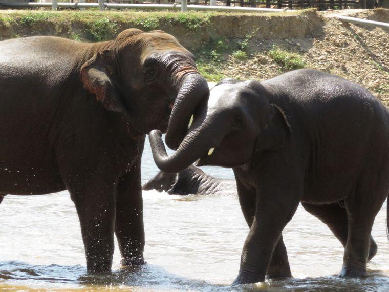 Im Elephant Nature Park leben die Tiere wieder mit ihren Artgenossen zusammen.