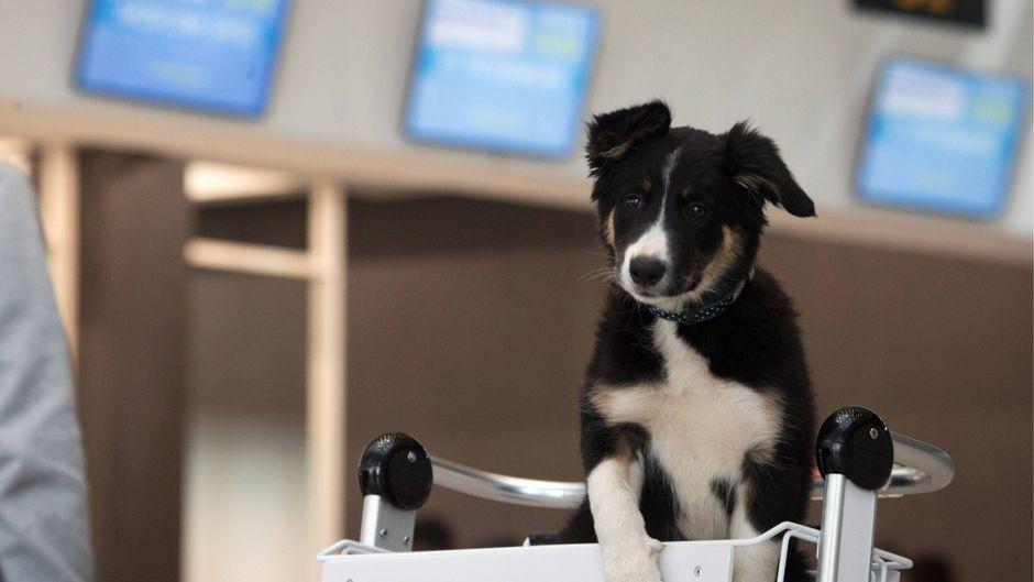 Ein Border Collie sitzt in einem Gepäckwagen am Flughafen. Könnten Hunde beim Erkennen von Passagieren mit Corona helfen?
