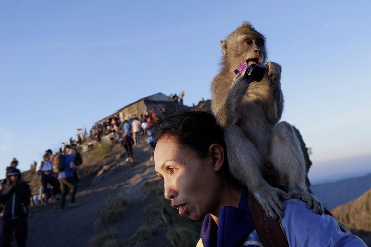 Viele der Affen haben die Scheu vor Menschen verloren und sammeln sich an Touristenzielen wie dem Schichtvulkan Batur auf Indonesien. Dort werden sie zu wandelnden Attraktion.