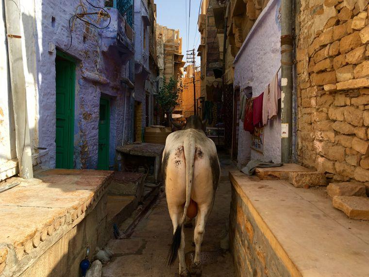 Jede Menge Kühe laufen durch die Straßen von Jaisalmer.