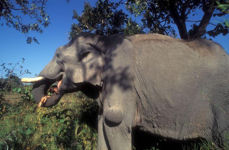 Eigentlich verbringen Elefanten bis zu 18 Stunden am Tag mit der Nahrungssuche. Als Packtier können sie das nicht.